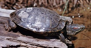 types of turtles - terrapin