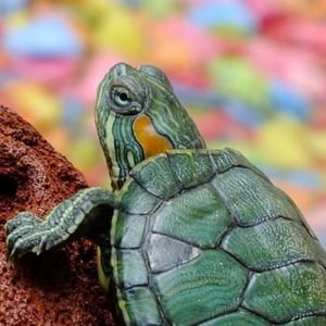 Keeping Turtles As Pets