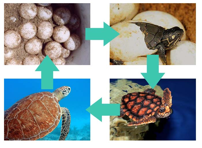 Turtles Life Cycle