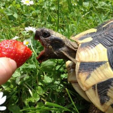 What Do Pet Turtles Eat?