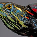 Painted Turtle Pet – What To Feed A Painted Turtle