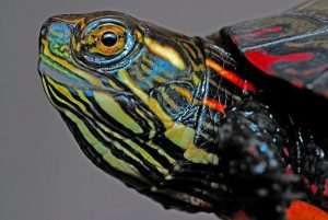 What To Feed A Painted Turtle Pet
