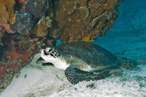 Where To See Green Sea Turtles