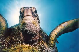How Long Do Green Sea Turtles Live