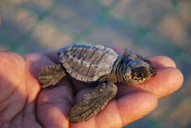 How Many Leatherback Turtles Are Left In The World?