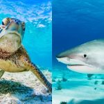 Do Sharks Eat Turtles?