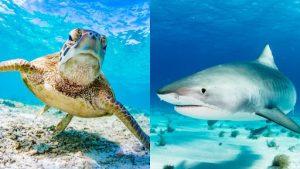 do sharks eat turtles