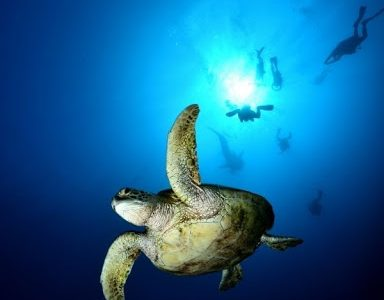 Swimming with the Leatherback Turtle