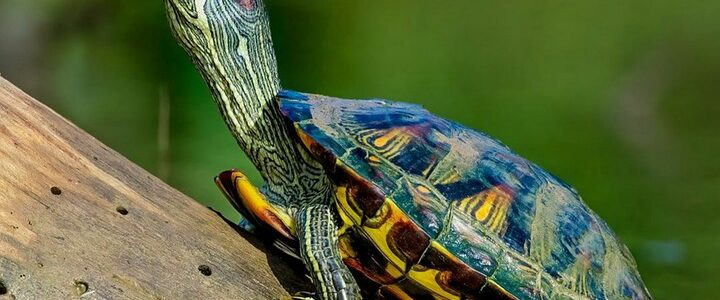 Red Eared Slider As A Pet: A Complete Care Guide