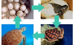 Sea Turtle Life Cycle